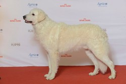 Kuvasz dog looking handsome
