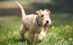 lakeland terrier frolicking in the park