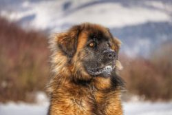 Leonberger at home in the snow