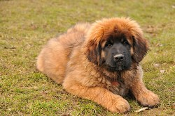 leonberger puppy taking the opportunity to take some rest time