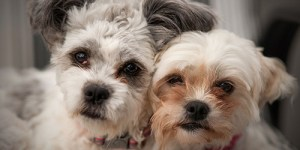 image of male Shih tzu and female Shih tzu