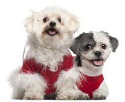 picture of shih tzu and maltese dogs - maltese shih tzu mix