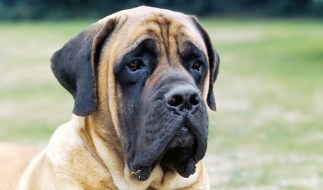 mastiff looking serious about work