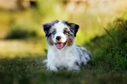 miniature american shepherd laying in the grass and enjoying some down time in the shade