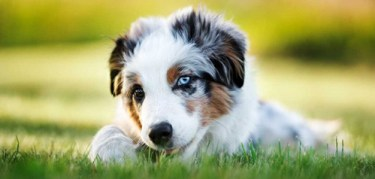 The most adorable miniature american shepherd puppy you have ever seen chilling in the grass biting on a stick