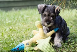 Miniature Schnauzer puppy playing with its toy