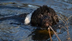 Newfoundland dog doing what it loves to do and that's swimming