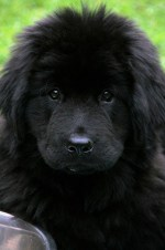 Newfoundland puppy looking fluffy and cute