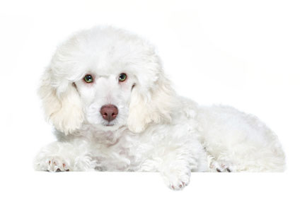 picture of poodle - dog breeds