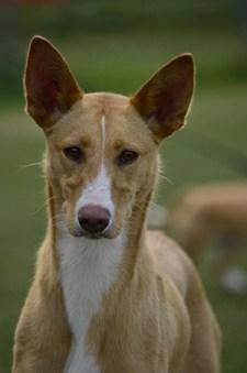 portuguese podengo dog staring into the camera