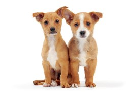 Two portuguese podengo puppies sitting a behaving for the picture