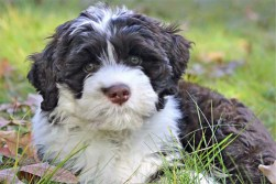 A beautiful Portuguese water dog sitting in the grass