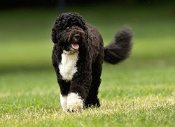 portuguese water dog taking a walk on a grassy field