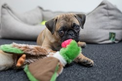 Pug puppy laying next to its toys