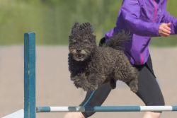 Pumi dog jumping over agility hurdle