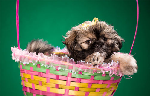 good shih tzu breeders