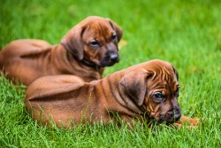 Two adorable Rhodesian Ridgeback puppies relaxing and enjoying the day
