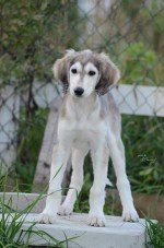 Saluki puppy standing with a fence and grass in the background