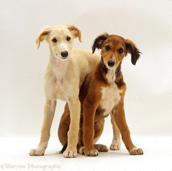 Two Saluki puppies behaving for pictures