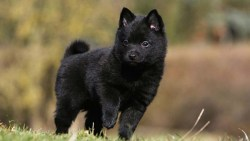schipperke puppy looking adorable on a beautiful day