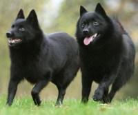Two schipperke dogs running side by side