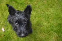 Scottish Terrier puppy sitting on grass and looking up at the camera with cute puppy dog eyes