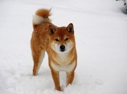 Shiba Inu enjoying the snow