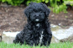 Black Shih Poo dog with white trim sitting in the grass on a hot summer day