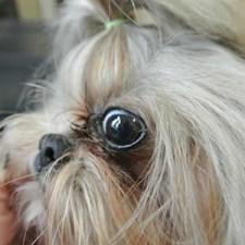 shih tzu eye infection home remedy