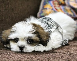 how smart is a shih tzu