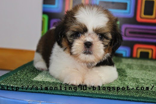 shih tzu male for sale awesome