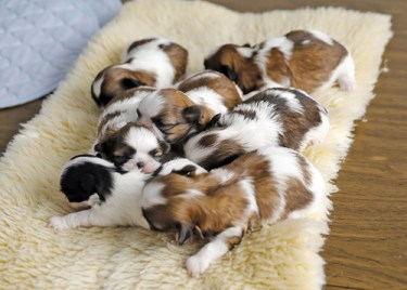 Shih Tzu puppies near me