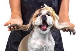 shih tzu puppy breeder