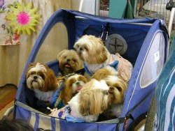 Shih Tzu puppies and companions in baby buggy