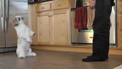 shih tzu puppy training using a crate