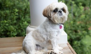 Shih Tzu temperament: Image of Shih Tzu sitting looking like royalty