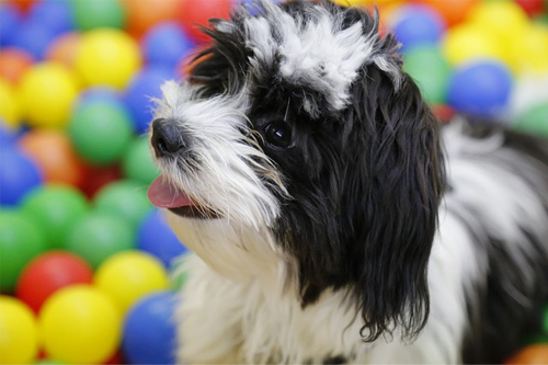 shih tzu puppy toys and accessories