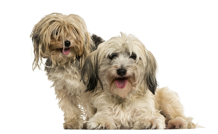 shih tzu and yorkie standing side by side