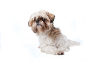picture of a shih tzu dog
