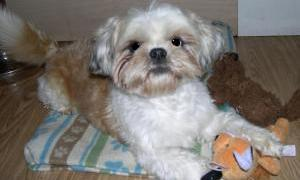 picture of shih tzu that needs adopting