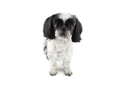 image of shih tzu dog with a close shave hairstyle