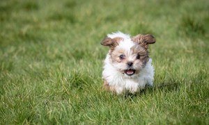 a little shih tzu dog running in an open field of grass having fun