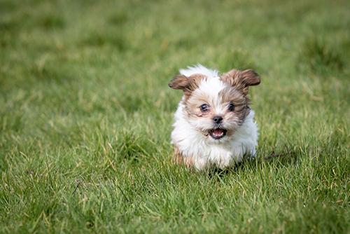 a little shih tzu dog running in an open field of grass having fun