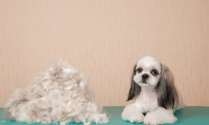 adorable shih tzu hairstyles