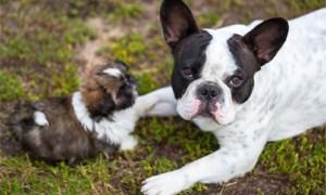 shitzus are social animals - shih tzu puppy and french bulldog