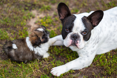 shitzus are social animals - shih tzu puppy and french bulldog