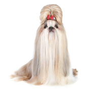 image of show-cut shih tzu hairstyle