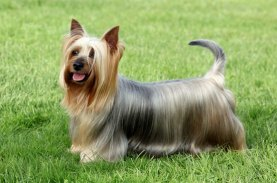 silky terrier awesome breed of dog