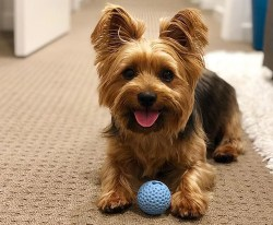 Silky Terrier laying down on the floor looking happy playing with his ball