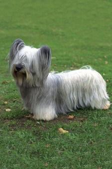 Skye Terrier with long luxurious flowing hair